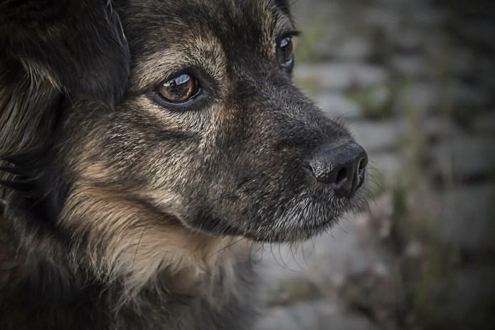 sad dog eyes