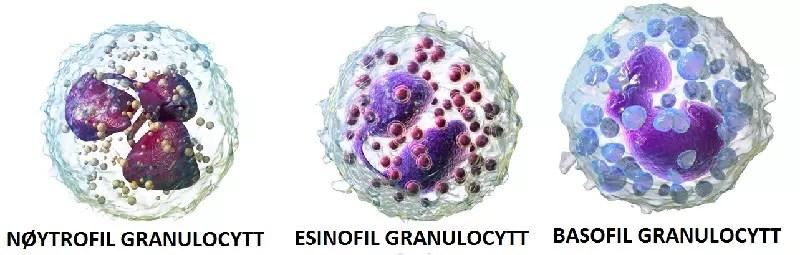 De tre typene granulocytter