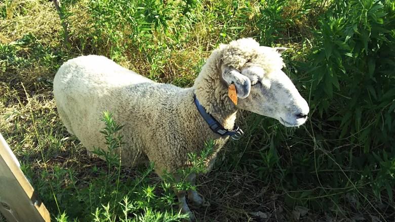 白鳥川の羊