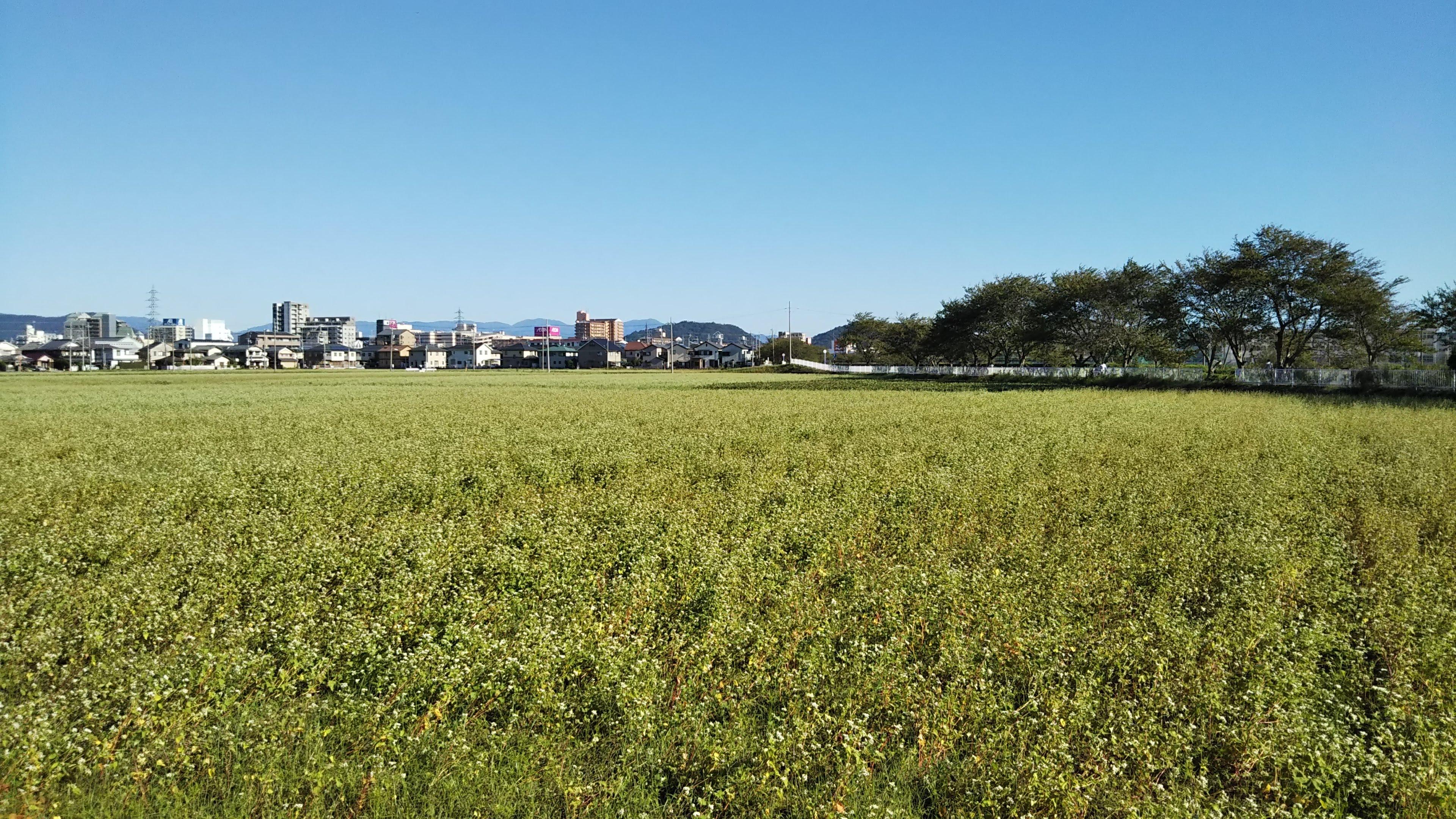 白鳥川_蕎麦の花