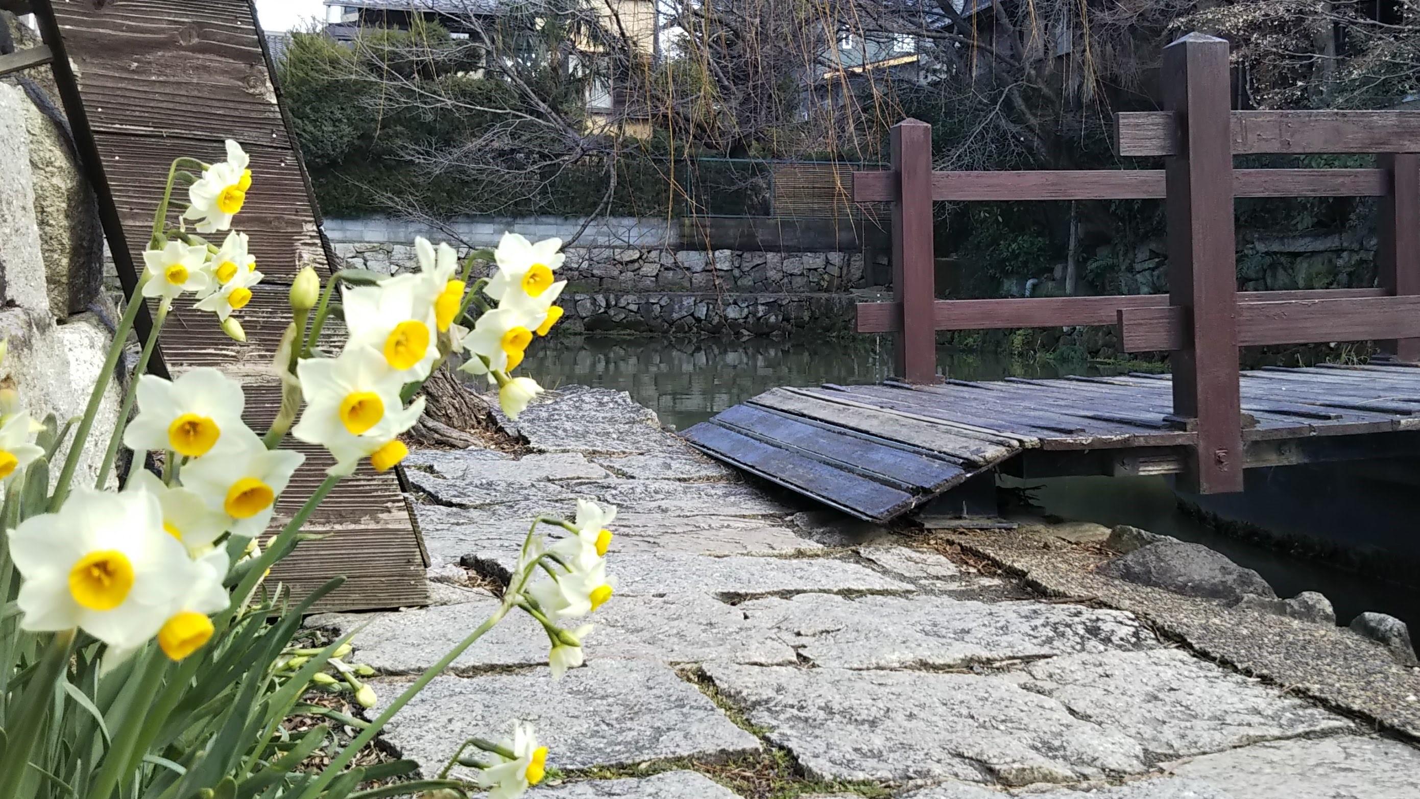 水仙咲く八幡堀