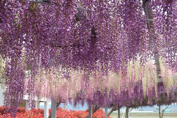 御沢神社_藤の花
