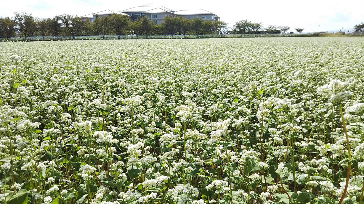 蕎麦の花_近江八幡市
