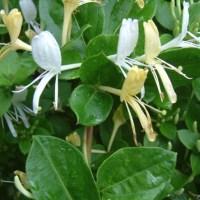 Mâna Maicii Domnului sau caprifoiul este o plantă cățărătoare, despre care se spune că atrage norocul. Este des întâlnită în grădini și apreciată pentru mirosul ei sublim. Iată cum ai grijă de ea și cum se înmulțește