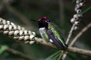Hummingbird Calypte anna