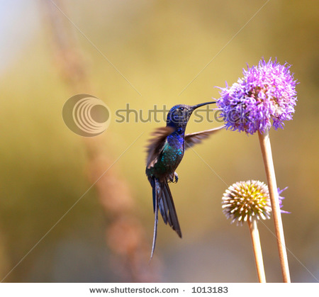 Hummingbird feeding on the flower