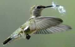 hummingbird mau bikin sarang