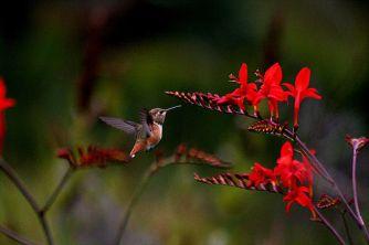 Kolibri dan bunga2