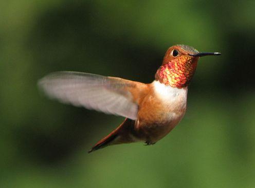 Kolibri Selasphorus rufus on Saltspring_Island