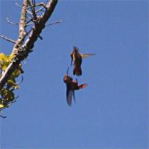 Kolibri tarung
