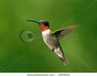 Ruby Throat Hummingbird