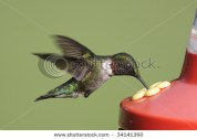 Ruby-throated Hummingbird (archilochus colubris) at a feeder with a green background