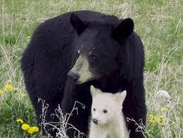 anakan beruang albino