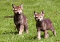 Anak serigala 3