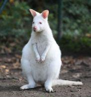 kanguru albino