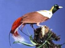 Burung cenderawasih 7