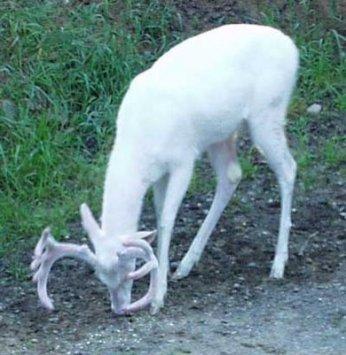 rusa albino