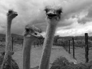 Burung unta di Villa de Leyva Colombia - National Geographic