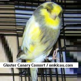 Gloster Canary Consort