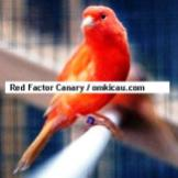 Red Factor Canary2