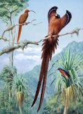 Sicklebills - Lukisan Walter Weber di National Geographic