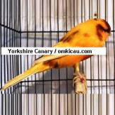 Yorkshire Canary