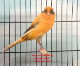4_Point_marked_yellow_Cock