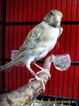 Gambar-gambar lab penangkaran burung kenari SmartBF (13)