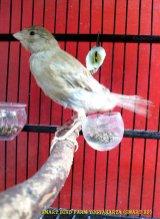 Gambar-gambar lab penangkaran burung kenari SmartBF (14)