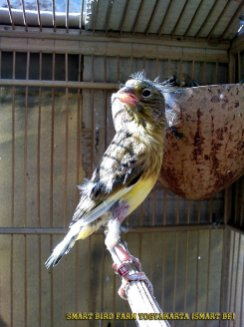 Gambar-gambar lab penangkaran burung kenari SmartBF (2)