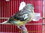 Gambar-gambar lab penangkaran burung kenari SmartBF (21)