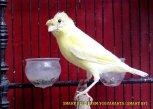 Gambar-gambar lab penangkaran burung kenari SmartBF (24)