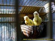 Gambar-gambar lab penangkaran burung kenari SmartBF (28)