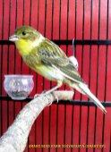 Gambar-gambar lab penangkaran burung kenari SmartBF (38)
