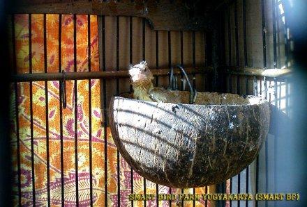 Gambar-gambar lab penangkaran burung kenari SmartBF (42)