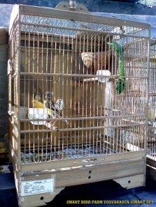 Gambar-gambar lab penangkaran burung kenari SmartBF (46)