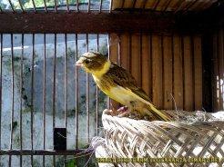 Gambar-gambar lab penangkaran burung kenari SmartBF (6)