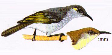 Burung Pijantung Indonesia atau Arachnothera limbata