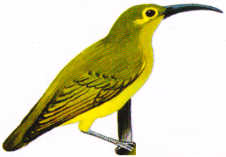 Burung Pijantung Tasmak - Arachnothera flavigaster
