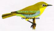 Gambar Burung Kacamata belukar Zosterops everetti