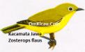 Gambar Burung Kacamata Jawa Zosterops flaus