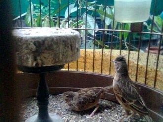 Kawin 5 - Burung branjangan di padepokan Gampit Om Ari Suprawadi