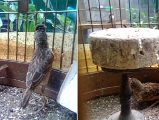 Beranjak Kawin - Burung branjangan di padepokan Gampit Om Ari Suprawadi