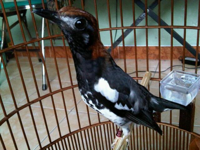 Burung anis kembang Si Maharaja Heri Gatbf (2)