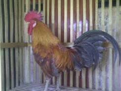 Ayam Ketawa Cipta Cilacap (10)