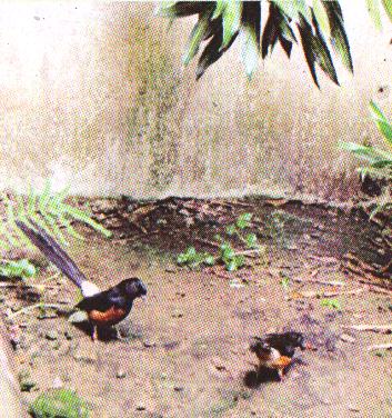 Kandang penangkaran dengan lantai tanah lebih membikin burung nyaman
