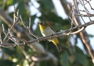 Burung Pleci atau Kacamata Ambon, Zosterops kuehni