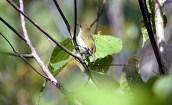 Burung pleci atau Kacamata Biak, Zosterops mysorensis