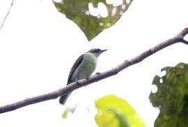 Burung pleci atau Kacamata Halmahera - Zosterops atriceps
