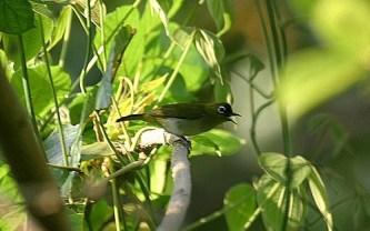 Burung pleci atau Kacamata kecil, Zosterops minor